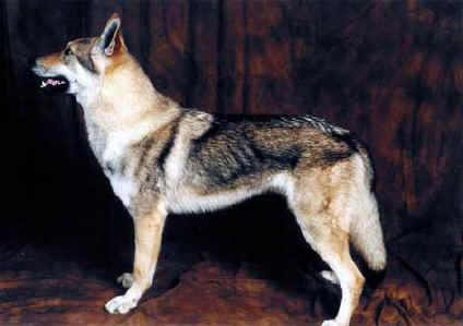Il Cane Lupo Cecoslovacco Cane O Lupo