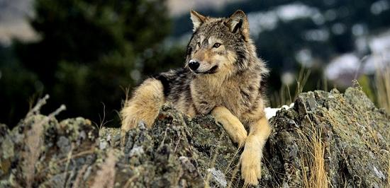 Golden Brown Wolf With Blue Eyes Il comportamento del l...