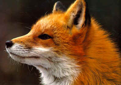 Gigionaz elogi i 12 for Dove vive la volpe